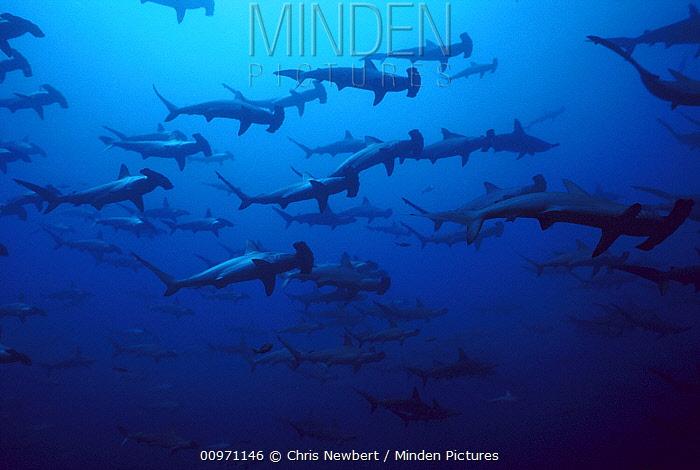 Scalloped Hammerhead Shark (Sphyrna lewini) school at 60 feet, Galapagos Islands, Ecuador  -  Chris Newbert