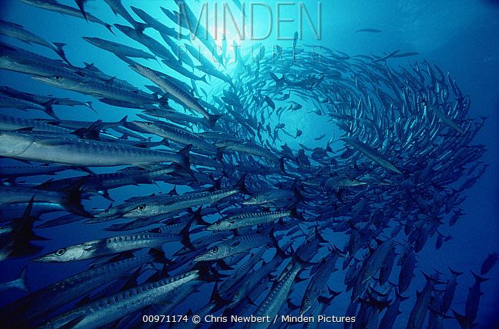 Blackfin Barracuda (Sphyraena qenie) in a spiraling school at 70 feet deep, Solomon Islands  -  Chris Newbert