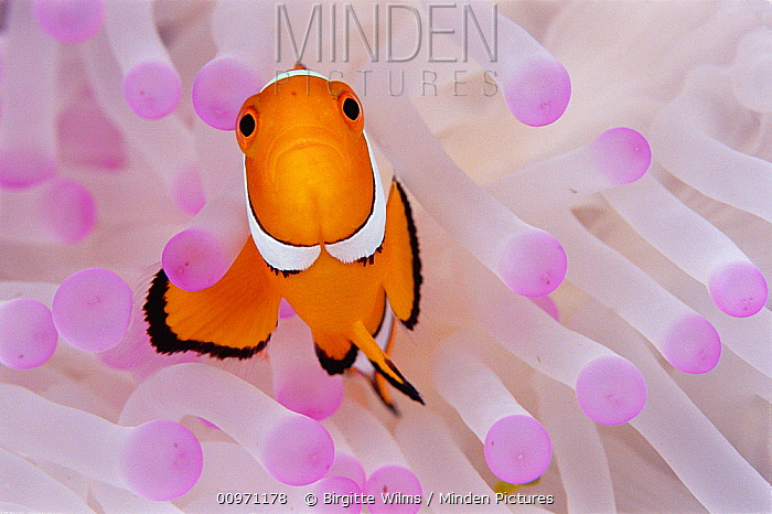 Blackfinned Clownfish (Amphiprion percula) in bleached Magnificent Sea Anemone (Heteractis magnifica) host, 30 feet deep, Papua New Guinea  -  Birgitte Wilms
