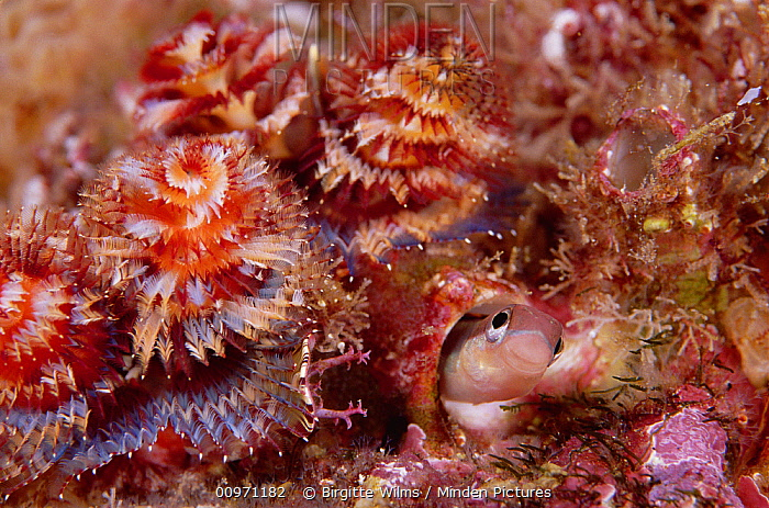 Striped Blenny (Meiacanthus grammistes) in its burrow surrounded by Christmas Tree Worms (Spirobranchus giganteus) 40 feet deep, Galapagos Islands, Ecuador  -  Birgitte Wilms