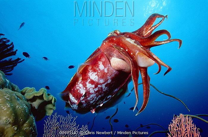 Cuttlefish (Sepia sp) portrait, 50 feet deep, Papua New Guinea  -  Chris Newbert