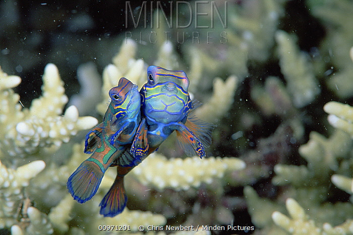 Mandarinfish (Synchiropus splendidus) mating in Stony Coral (Acropora sp) 10 feet deep, Solomon Islands  -  Chris Newbert