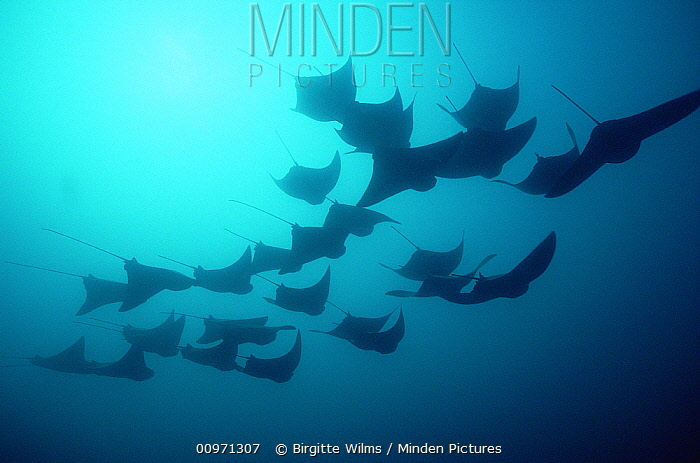 Golden Cownose Ray (Rhinoptera steindachneri) school, 20 feet deep, Galapagos Islands, Ecuador  -  Birgitte Wilms