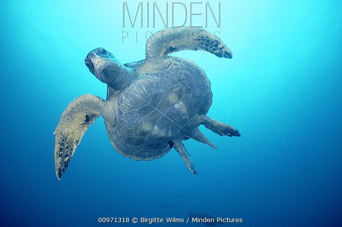 Green Sea Turtle (Chelonia mydas) swimming, Galapagos Islands, Ecuador  -  Birgitte Wilms