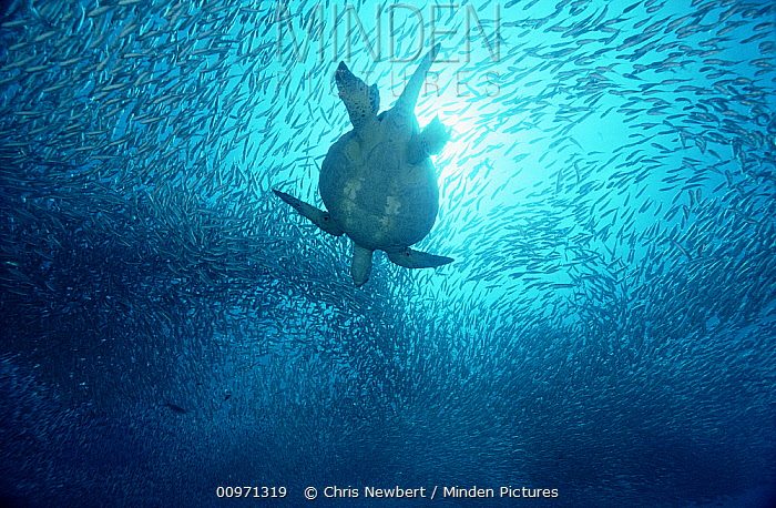Green Sea Turtle (Chelonia mydas) swimming through school of Black-striped Salema (Xenocys jessiae) 40 feet deep, Galapagos Islands, Ecuador  -  Chris Newbert