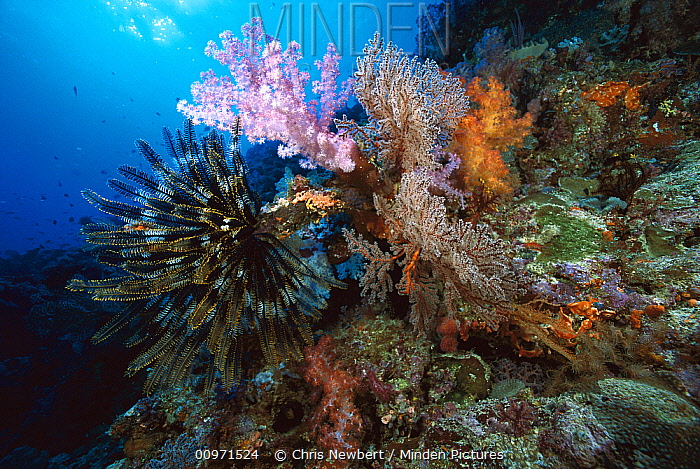 Soft Coral (Dendronephthya sp) outcroppings and Feather Star (Oxycomanthus bennetti) 50 feet deep, Solomon Islands  -  Chris Newbert