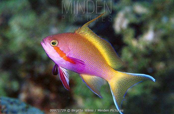 Red-cheeked Anthias (Pseudanthias huchtii) portrait of a male, 50 feet deep, Solomon Islands  -  Birgitte Wilms