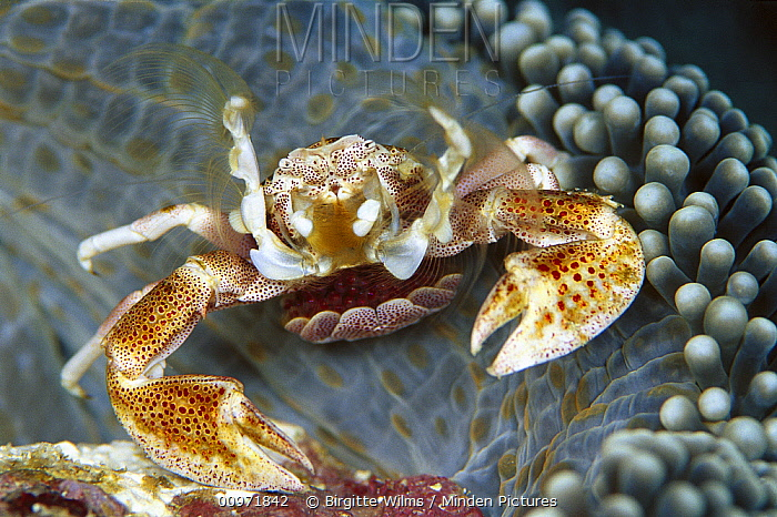 Spotted Anemone Crab (Neopetrolisthes maculatus) female on Anemone (Stichodactyla mertensii) home with eggs held in brood pouch formed by tail, feeding on plankton with her feather net arms, Solomon Islands  -  Birgitte Wilms