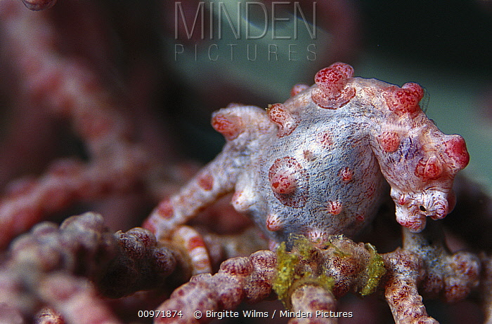 Seahorse (Hippocampus sp) pregnant male on Sea Fan (Muricella sp) 80 feet deep, Solomon Islands  -  Birgitte Wilms