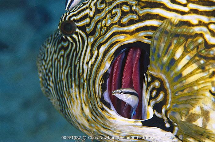 Blue-streaked Cleaner Wrasse (Labroides dimidiatus) cleaning gills of Map Puffer (Arothron mappa) 80 feet deep, Solomon Islands  -  Chris Newbert