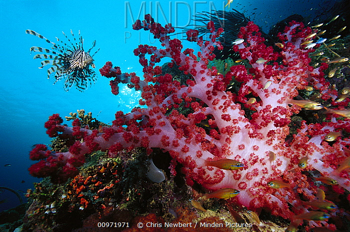 Soft Coral (Dendronephthya sp) schooling Pygmy Sweeper (Parapriacanthus ransonneti) and Lionfish (Pterois volitans)  -  Chris Newbert