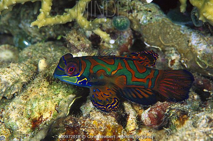 Mandarinfish (Synchiropus splendidus) male in Hard Corals (Anacropora forbesi) 20 feet deep, Solomon Islands  -  Chris Newbert