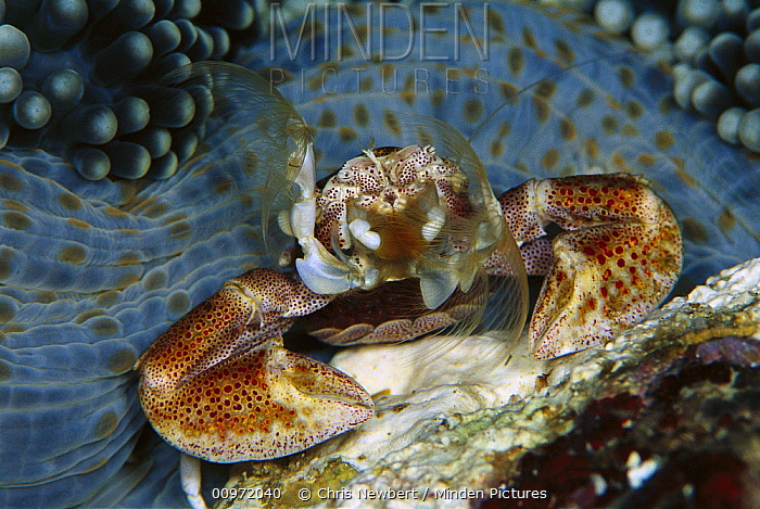 Spotted Anemone Crab (Neopetrolisthes maculatus) female on her Anemone home (Stichodactyla mertensii) feeding on plankton with her feather net arms, with eggs held in brood pouch formed by tail, 50 feet deep, Solomon Islands  -  Chris Newbert