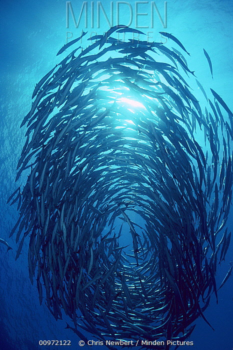 Blackfin Barracuda (Sphyraena qenie) schooling, 70 feet deep, Solomon Islands  -  Chris Newbert