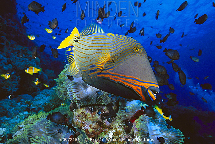 Orange-striped Triggerfish (Balistapus undulatus) and Damselfish (Dascyllus sp) in background, 50 feet deep, Red Sea, Egypt  -  Birgitte Wilms