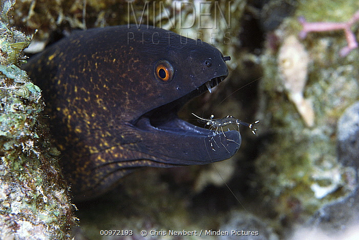 Giant Moray Eel (Gymnothorax javanicus) being cleaned by a Cleaner Shrimp (Urocaridella sp), Red Sea, Egypt  -  Chris Newbert