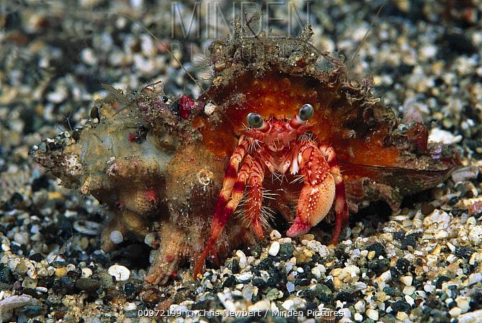 Hermit Crab (Diogenidae), Red Sea, Egypt  -  Chris Newbert