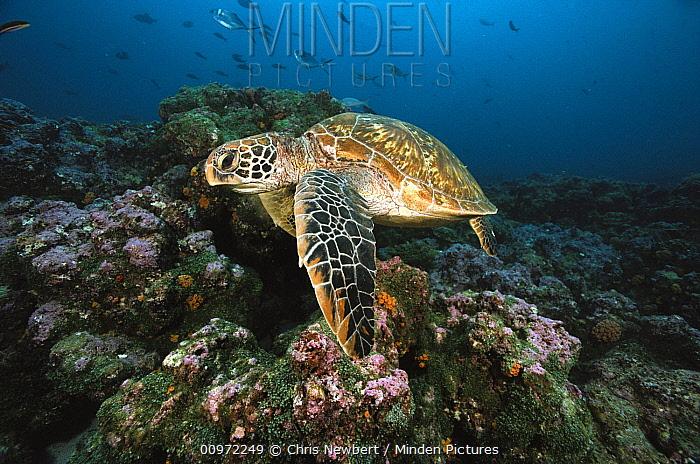 Green Sea Turtle (Chelonia mydas) swimming, Galapagos Islands, Ecuador  -  Chris Newbert