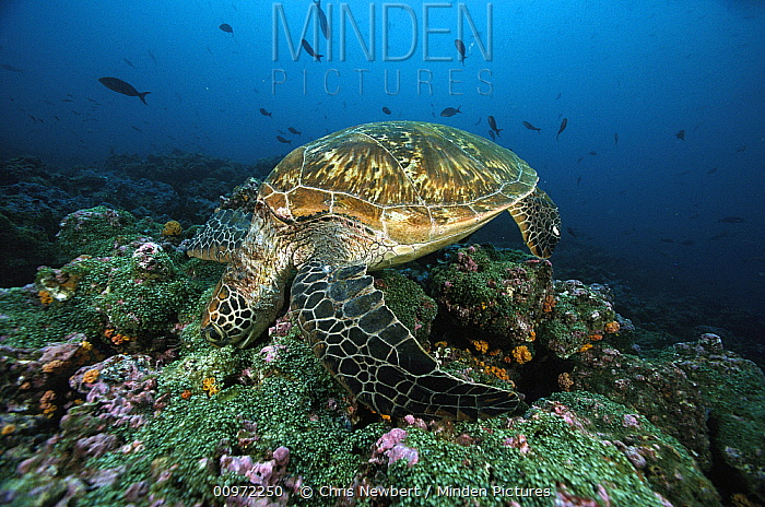 Green Sea Turtle (Chelonia mydas) feeding on coral, Galapagos Islands, Ecuador  -  Chris Newbert