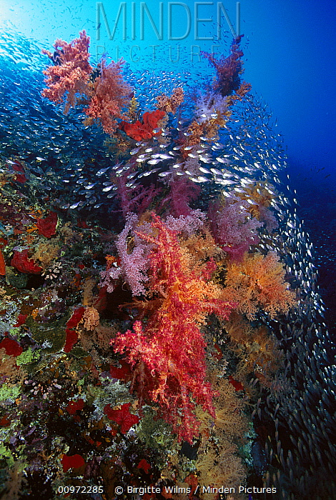 Soft Coral (Dendronephthya sp,) and Pigmy Sweeper (Parapriacanthus ransonneti), Red Sea, Egypt  -  Birgitte Wilms