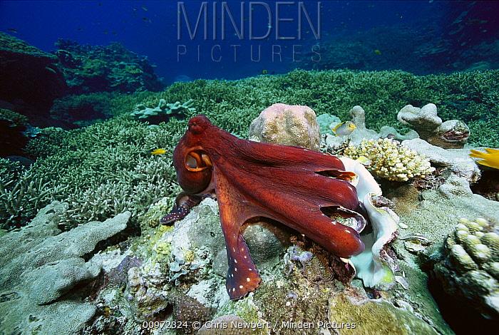 Octopus (Octopus sp) eating Giant Clam (Tridacna sp), Solomon Islands  -  Chris Newbert