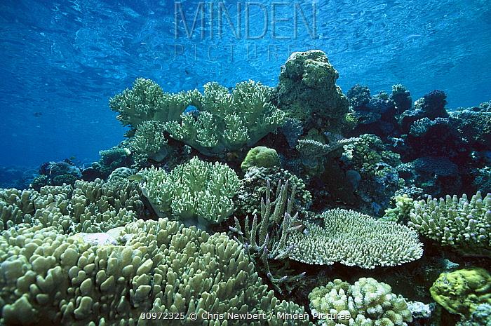 Hard Coral garden in shallow water, Solomon Islands  -  Chris Newbert