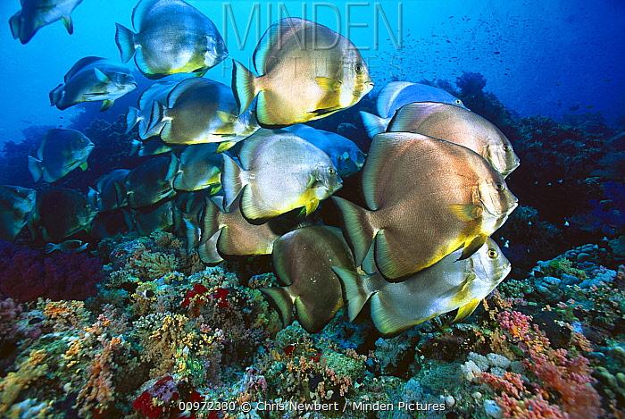 Batfish (Platax sp) schooling, Red Sea, Egypt  -  Chris Newbert