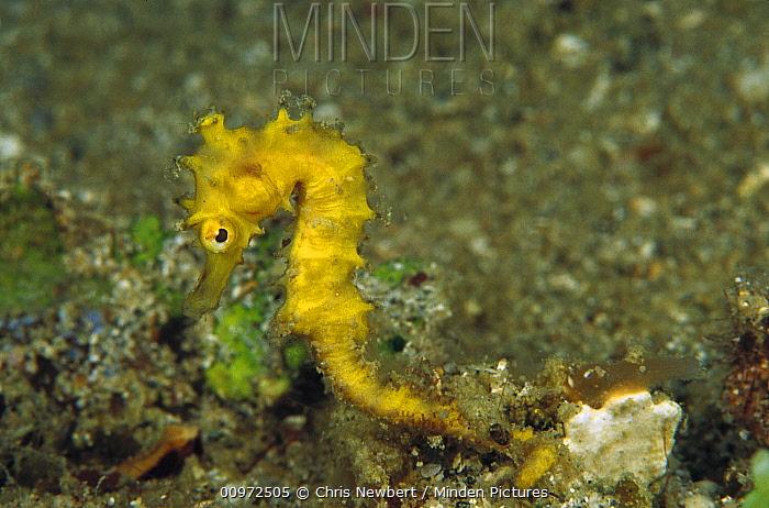 Seahorse (Hippocampus sp) juvenile clinging to seaweed, Papua New Guinea  -  Chris Newbert