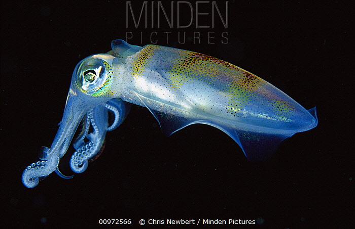 Squid (Sepioteuthis sp) portrait, side view, Papua New Guinea  -  Chris Newbert