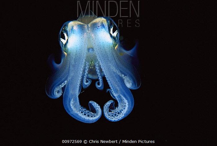 Squid (Sepioteuthis sp) portrait, front view, Papua New Guinea  -  Chris Newbert