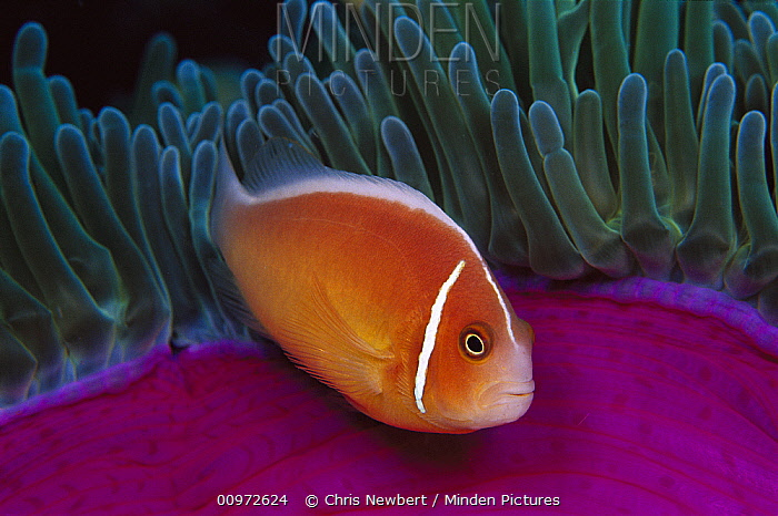 Pink Anemonefish (Amphiprion perideraion) in Magnificent Sea Anemone (Heteractis magnifica) 40 feet deep, Papua New Guinea  -  Chris Newbert