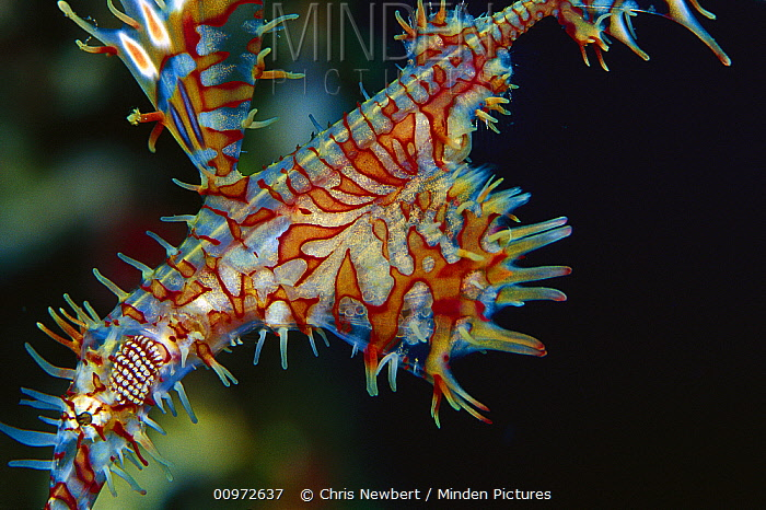 Harlequin Ghost Pipefish (Solenostomus paradoxus) female carrying eggs in her pouch, 30 feet deep, Solomon Islands  -  Chris Newbert