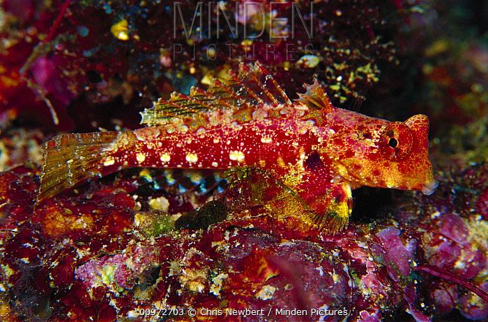 Mandarinfish (Synchiropus moyeri) male 40 feet deep, Solomon Islands  -  Chris Newbert