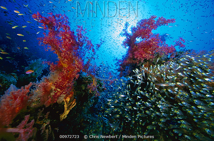 Soft Coral (Dendronephthya sp) outcroppings and schooling Pigmy Sweeper (Parapriacanthus ransonneti) 60 feet deep, Red Sea, Egypt  -  Chris Newbert