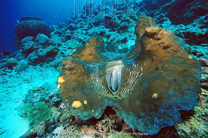 Giant Clam (Tridacna gigas) world's largest and heaviest mollusk, 10 feet deep off of Solomon Islands  -  Chris Newbert