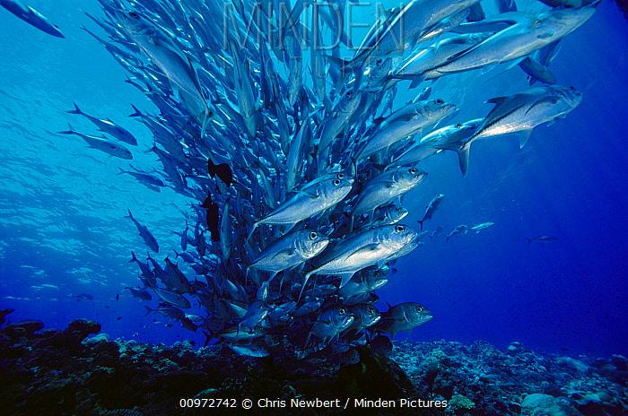 Bigeye Trevally (Caranx sexfasciatus) school, 40 feet deep, Solomon Islands  -  Chris Newbert