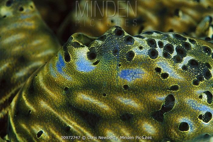 Giant Clam (Tridacna gigas) mantle detail, world's largest and heaviest mollusk, 20 feet deep off of Solomon Islands  -  Chris Newbert