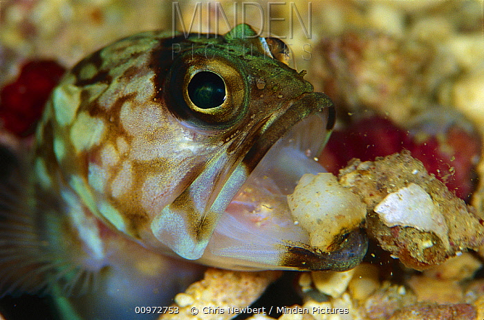 Jawfish (Opisthognathidae) maintaining burrow, 80 feet deep, Solomon Islands  -  Chris Newbert