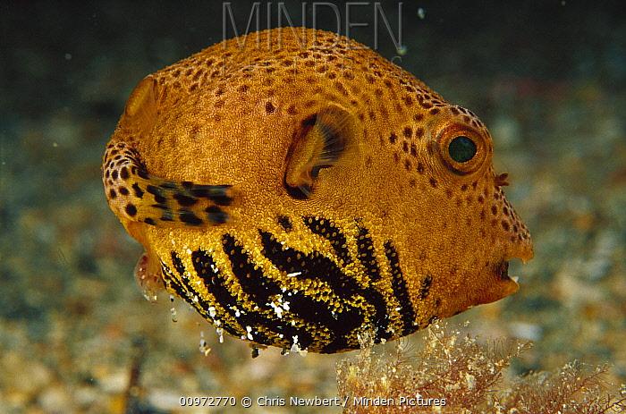 Starry Pufferfish (Arothron stellatus) juvenile 60 feet deep, Papua New Guinea  -  Chris Newbert