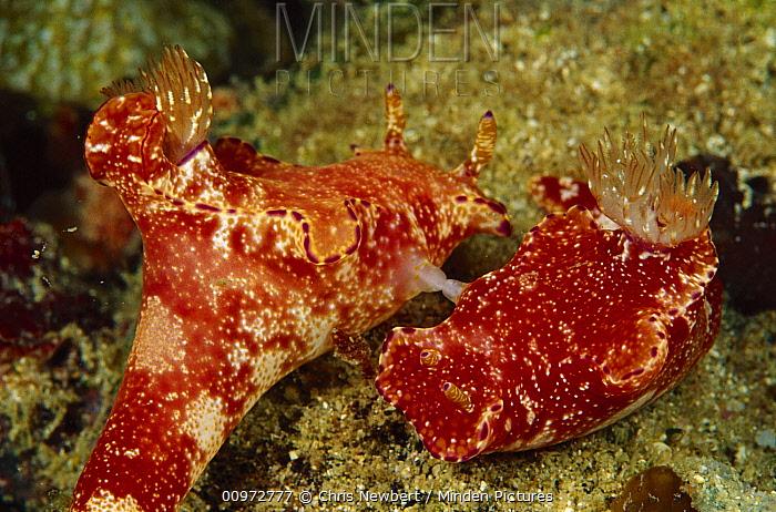 Nudibranch pair mating 60 feet deep, Papua New Guinea  -  Chris Newbert