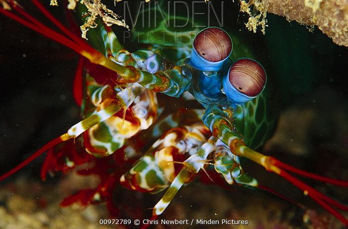 Mantis Shrimp (Odontodactylus scyllarus) 50 feet deep, Papua New Guinea  -  Chris Newbert