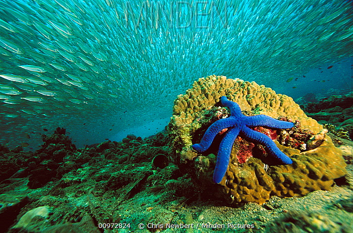 Blue Sea Star (Linckia laevigata) and schooling baitfish, 20 feet deep, Papua New Guinea  -  Chris Newbert