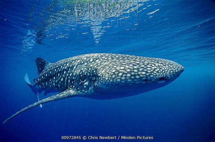 Whale Shark (Rhincodon typus), Papua New Guinea  -  Chris Newbert