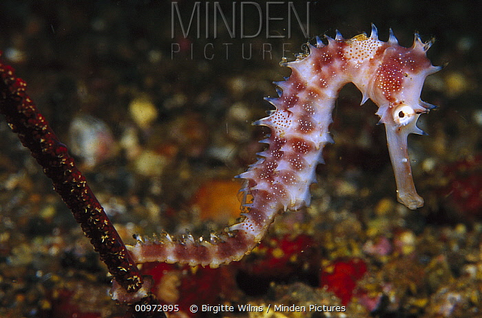 Seahorse (Hippocampus sp) holding on to Sea Pen (Virgularia sp) 90 feet deep, Indonesia  -  Birgitte Wilms