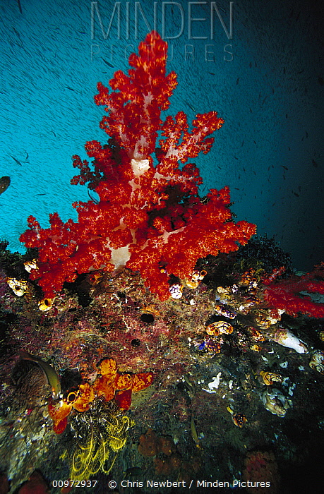 Soft Coral (Dendronephthya sp) on reef, Indonesia  -  Chris Newbert