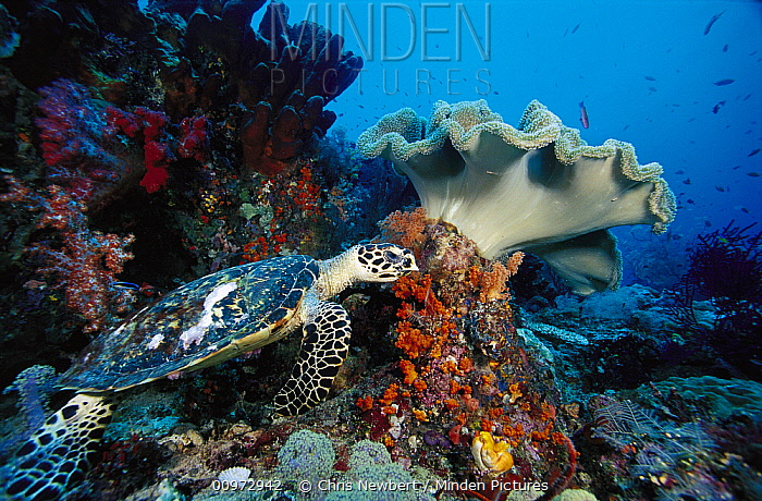 Hawksbill Sea Turtle (Eretmochelys imbricata) and Leather Coral (Sarcophyton sp) on reef, Indonesia  -  Chris Newbert