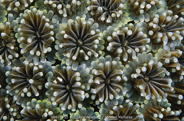 Octopus Coral (Galaxea fascicularis) polyps extended to feed, Indonesia  -  Chris Newbert