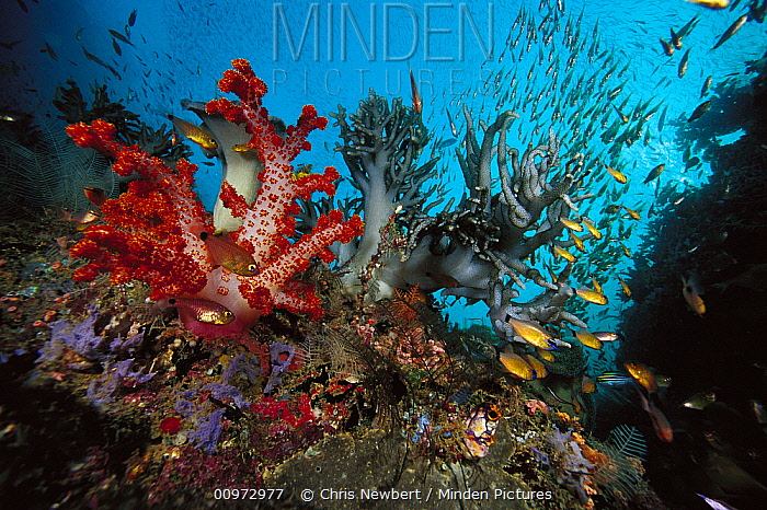 Soft Coral (Dendronephthya sp) and (Sinularia sp) with schooling fish, Indonesia  -  Chris Newbert