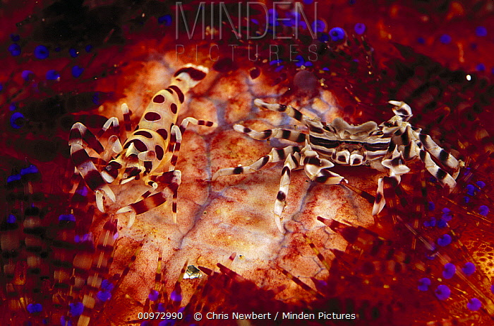 Coleman's Shrimp (Periclimenes colemani) and Adam's Urchin Crab (Zebrida adamsii) on Fire Urchin (Asthenosoma varium), Indonesia  -  Chris Newbert