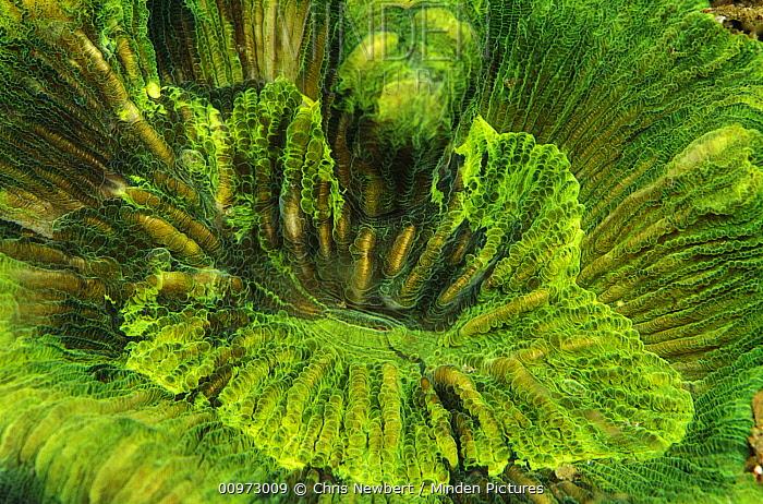 Pore Coral (Montipora undata), Indonesia  -  Chris Newbert